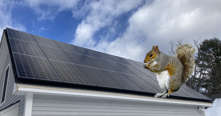 Squirrel on roof mounted solar panels